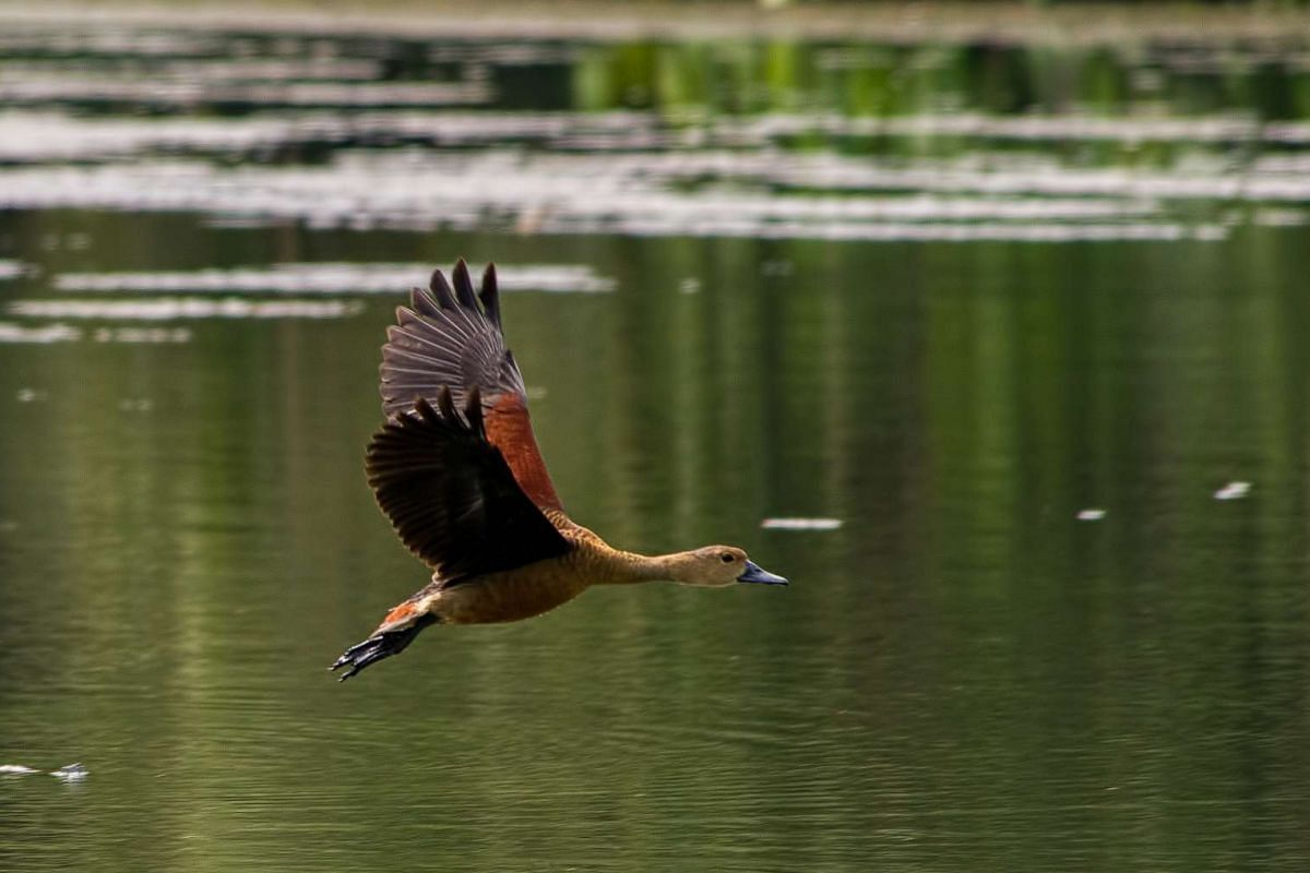 Signature bird species: Lesser Whistling Duck.