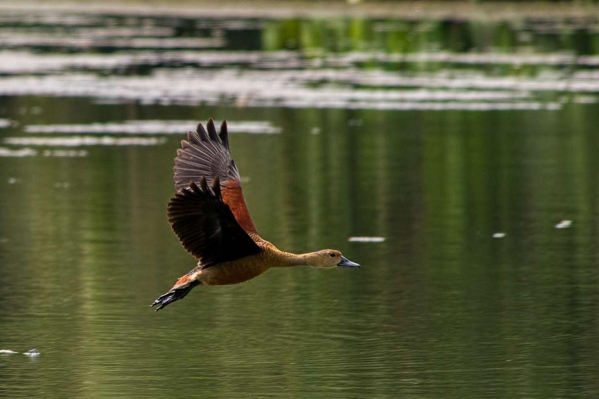 Signature bird species: Lesser Whistling Duck.