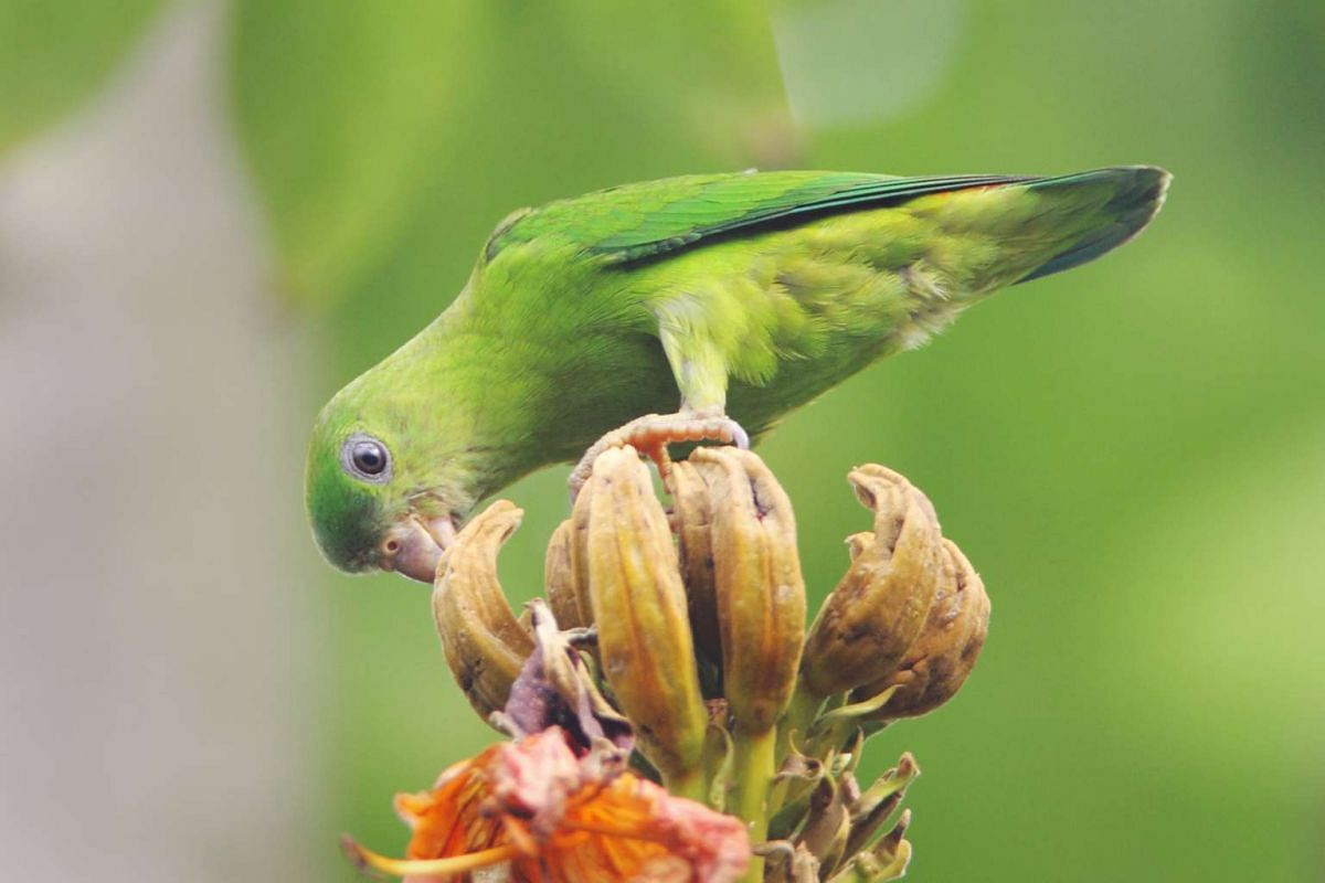 Signature bird species: Blue-crowned Hanging Parrot.