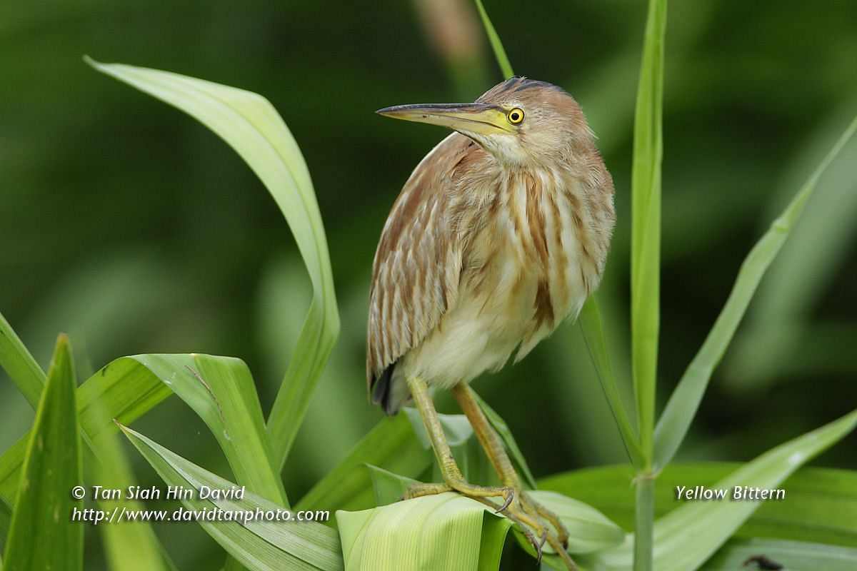 Signature bird species: Yellow Bittern.