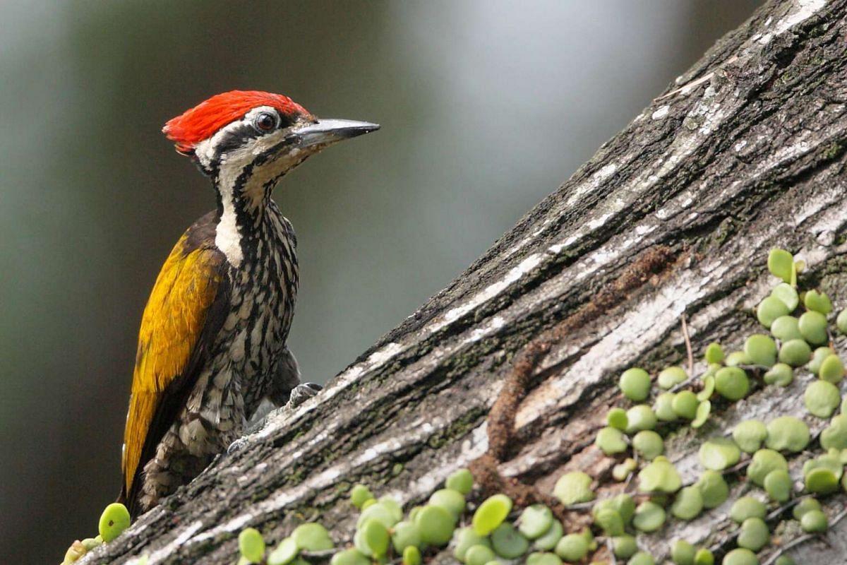 Signature bird species: Common Flameback.