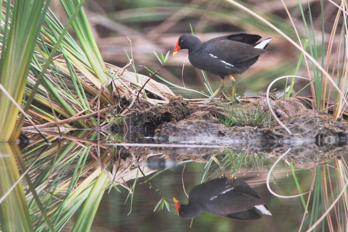 Signature bird species: Common Moorhen.
