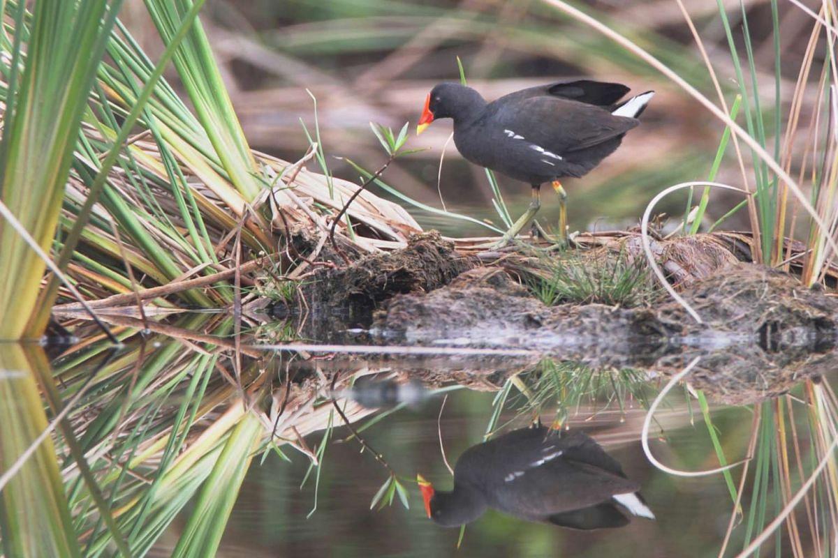 Signature bird species: Common Moorhen.