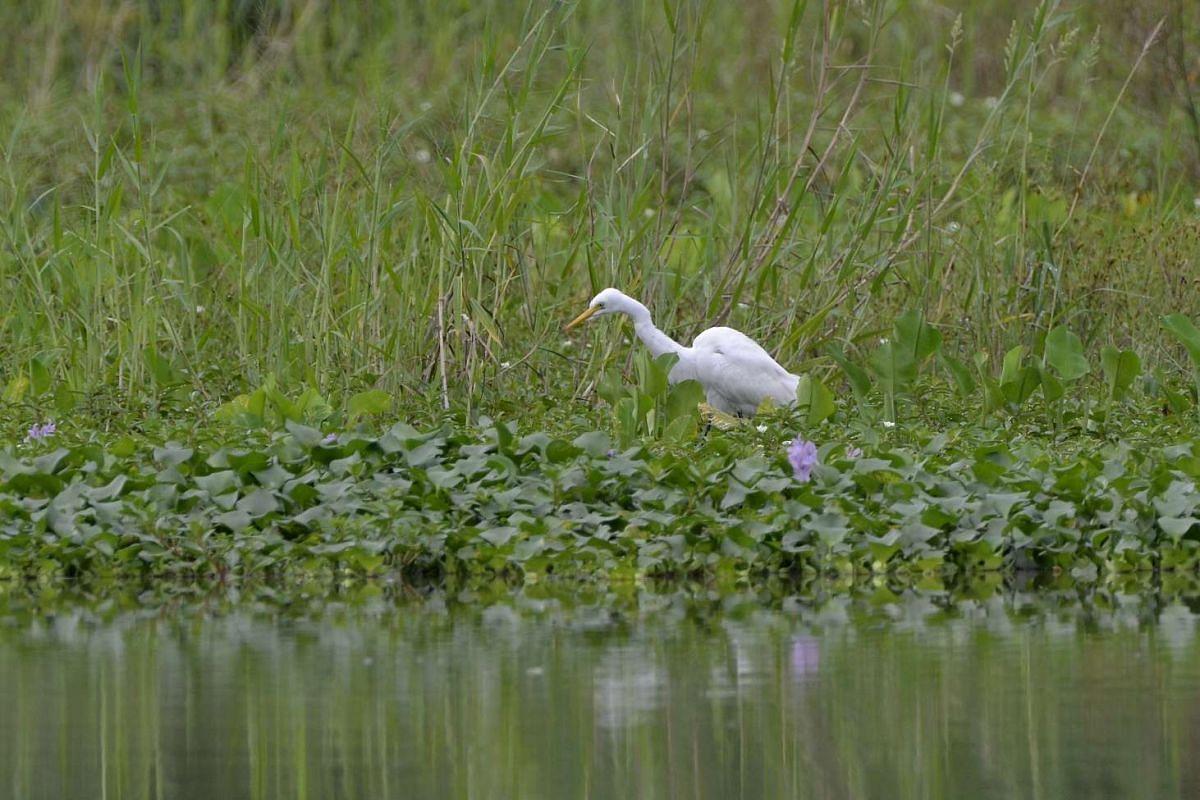 Restoration efforts: Intermediate Egret foraging among aquatic plants.