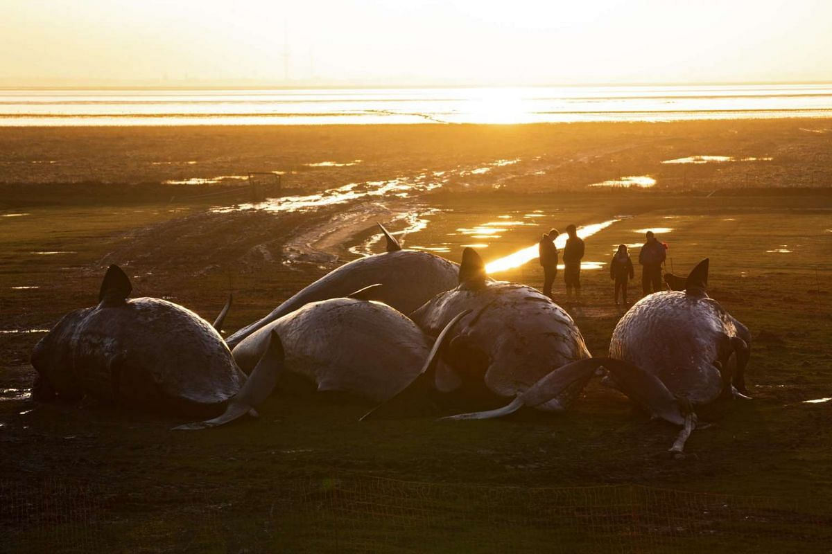 Visitors looking at dead sperm whales behind the levee at the mudflats near the Kaiser-Wilhelm polder in Germany on Feb 3, 2016.