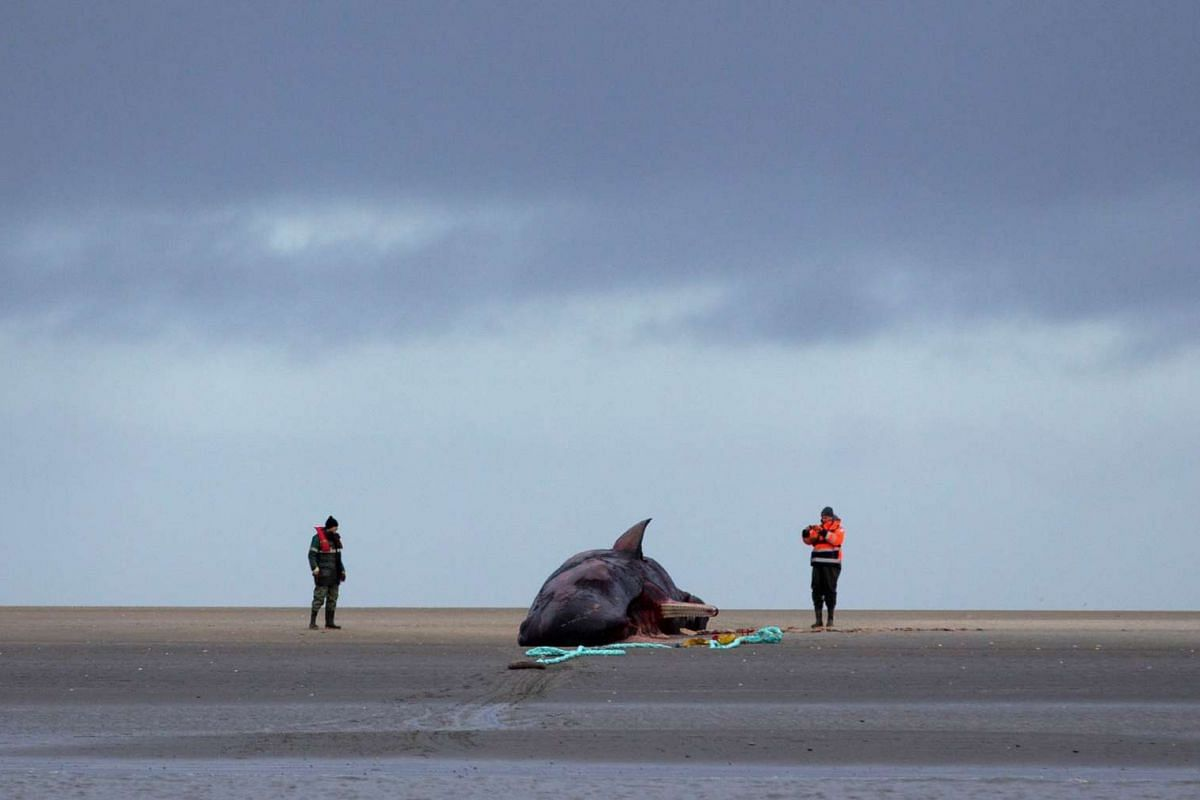 Two coastal protection workers examine a beached sperm whale off the North Sea near Buesum, Germany on Feb 4, 2016.