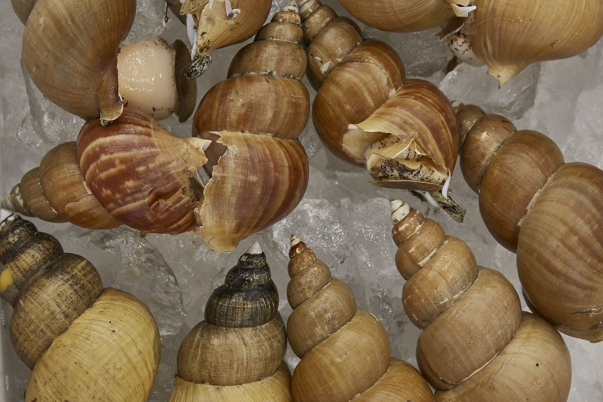Babylonia japonica, a type of sea snail, ready for auction at the fish market in Kanazawa.