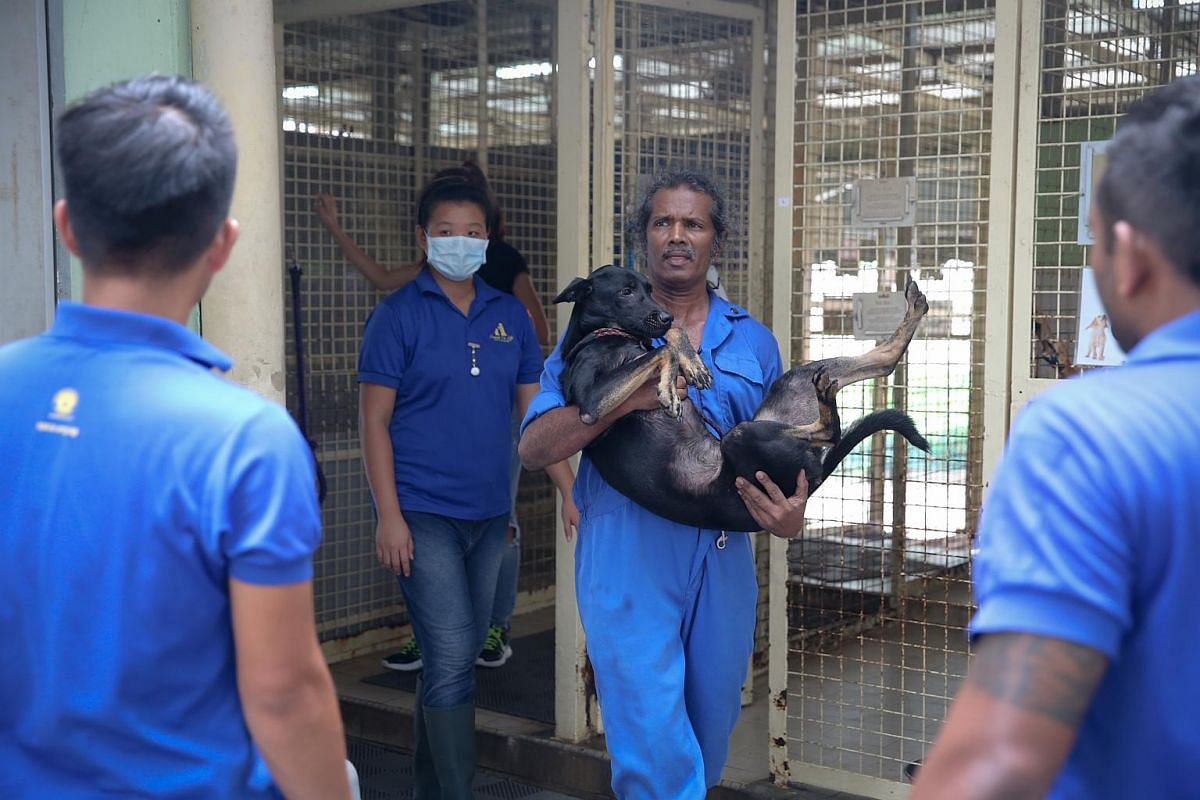 SPCA shelter supervisor Mohan Veerasamy carrying Bree, a four-year-old female cross breed, out of its cage.