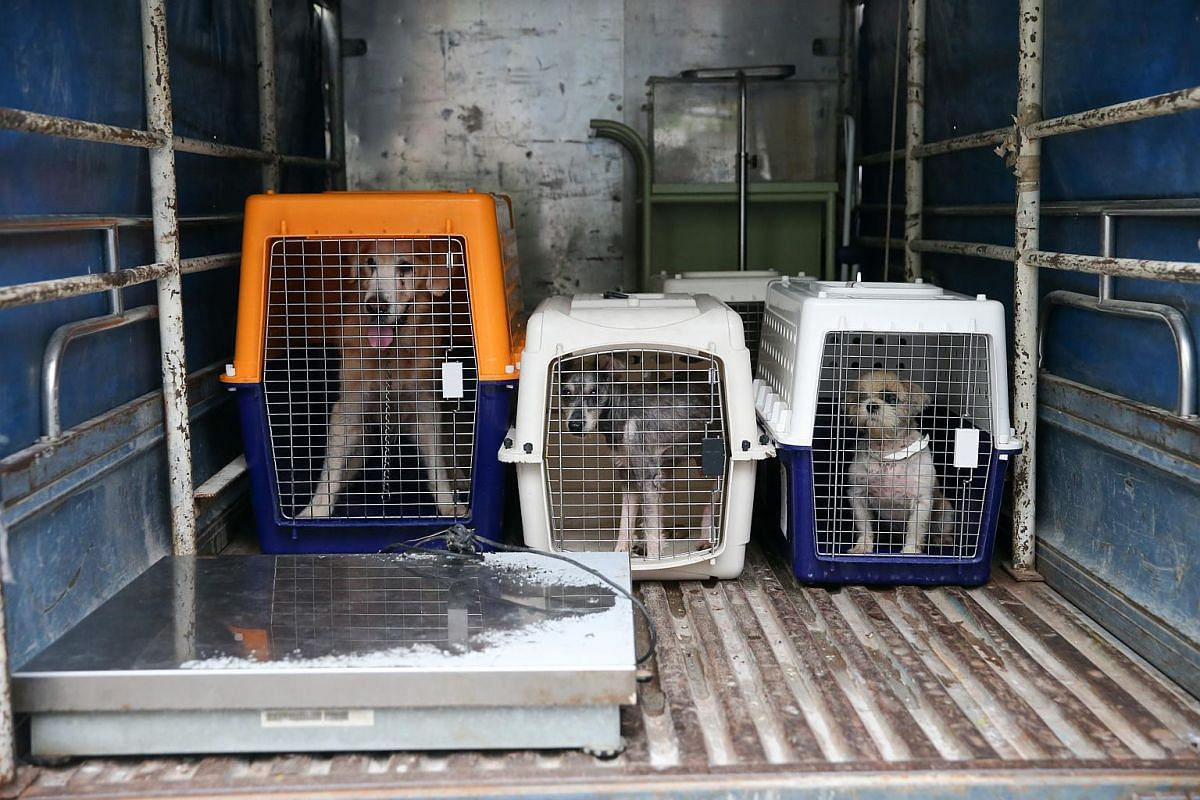 Lost and found dogs (from left) a golden retriever, a schnauzer and a shih tzu being moved in crates to the new facility at Sungei Tengah Road.