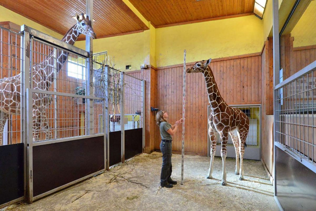 Zookeeper Susanne Meyer is watched by female giraffe Dhakija (left) as she measures the height of baby giraffe Mayla during an animal inventory at the Thuringian Zoo Park in Erfurt, Germany, on Feb 10, 2016.