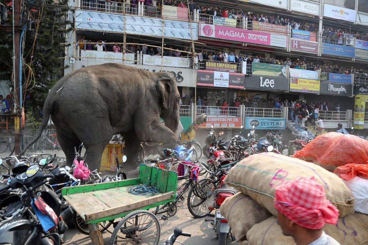 Indian bystanders watching a wild elephant with a tranquiliser dart in its back walks along a street in Siliguri on Feb 10, 2016. The elephant was later transported to a nearby forest.