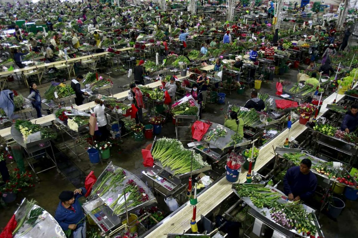 Employees organising bouquets of flowers for export before Valentine's Day at a farm in Facatativa near Bogota, Colombia on Jan 28, 2016.