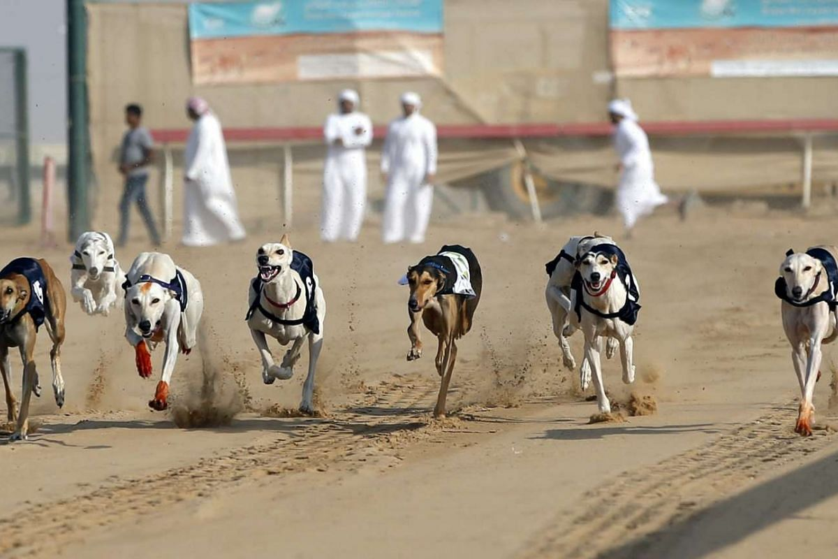 Saluki dogs competing in the saluki dogs race held as part of the Sultan Bin Zayed Heritage Festival in the desert at Sweihan in Al-Ain, United Arab Emirates on Jan 11, 2016.