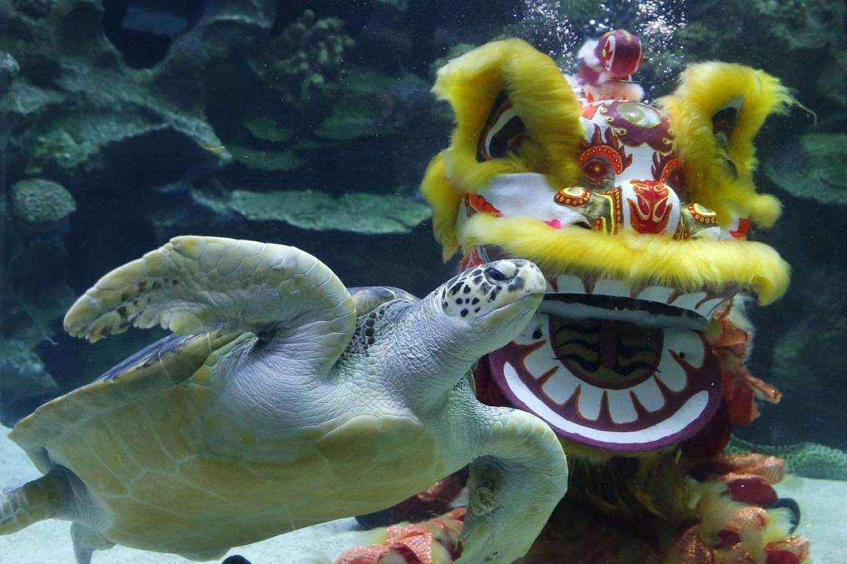 A diver performing an underwater lion dance to celebrate the Lunar New Year at an aquarium in Kuala Lumpur, Malaysia on Feb 12, 2016.