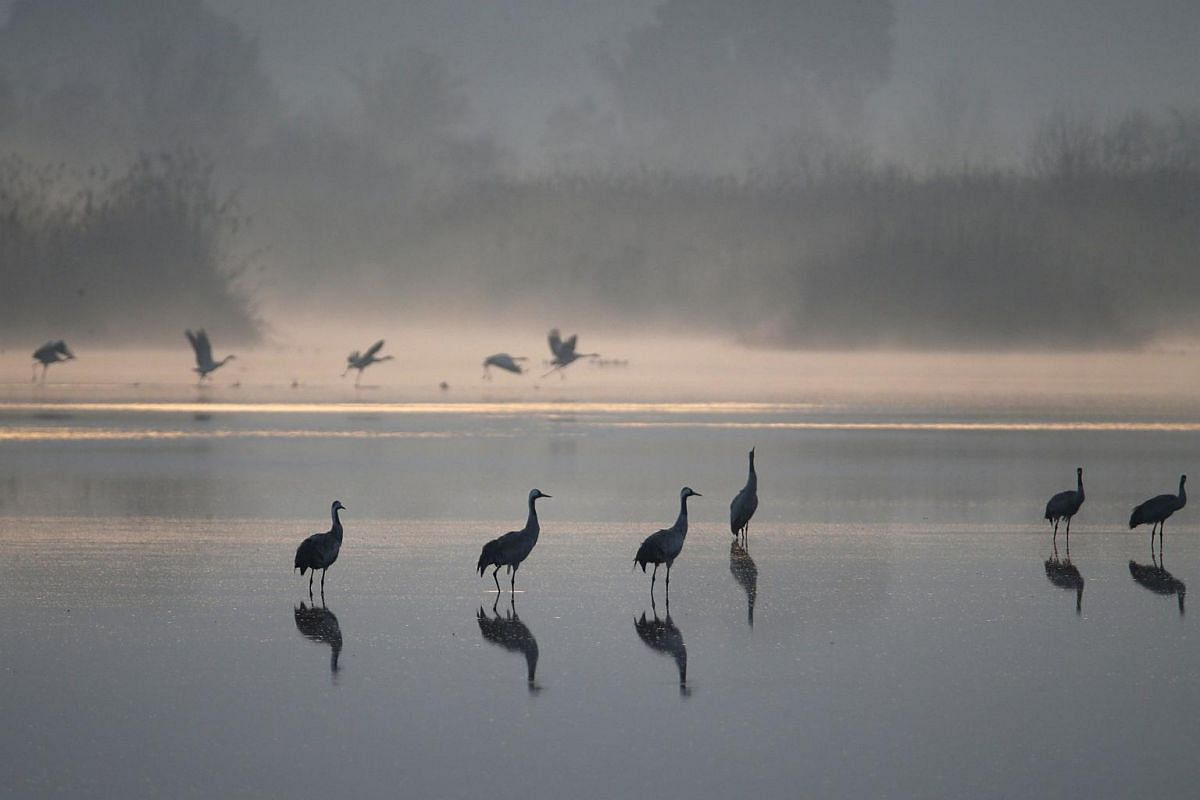 Migrating cranes can be seen at the Hula Lake Ornithology and Nature Park on Feb 14, 2016.