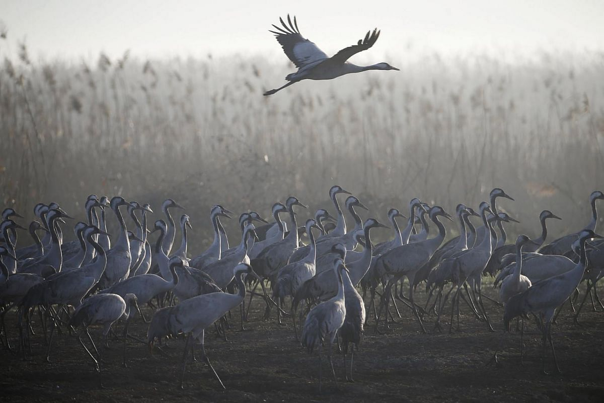 Migrating cranes standing as another flies over the Hula Lake Ornithology and Nature Park on Feb 14, 2016.