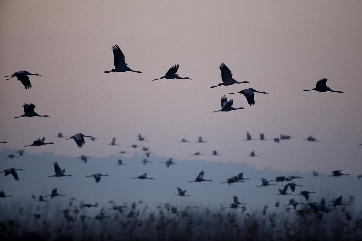 Migrating cranes flying over the Hula Lake Ornithology and Nature Park on Feb 14, 2016.