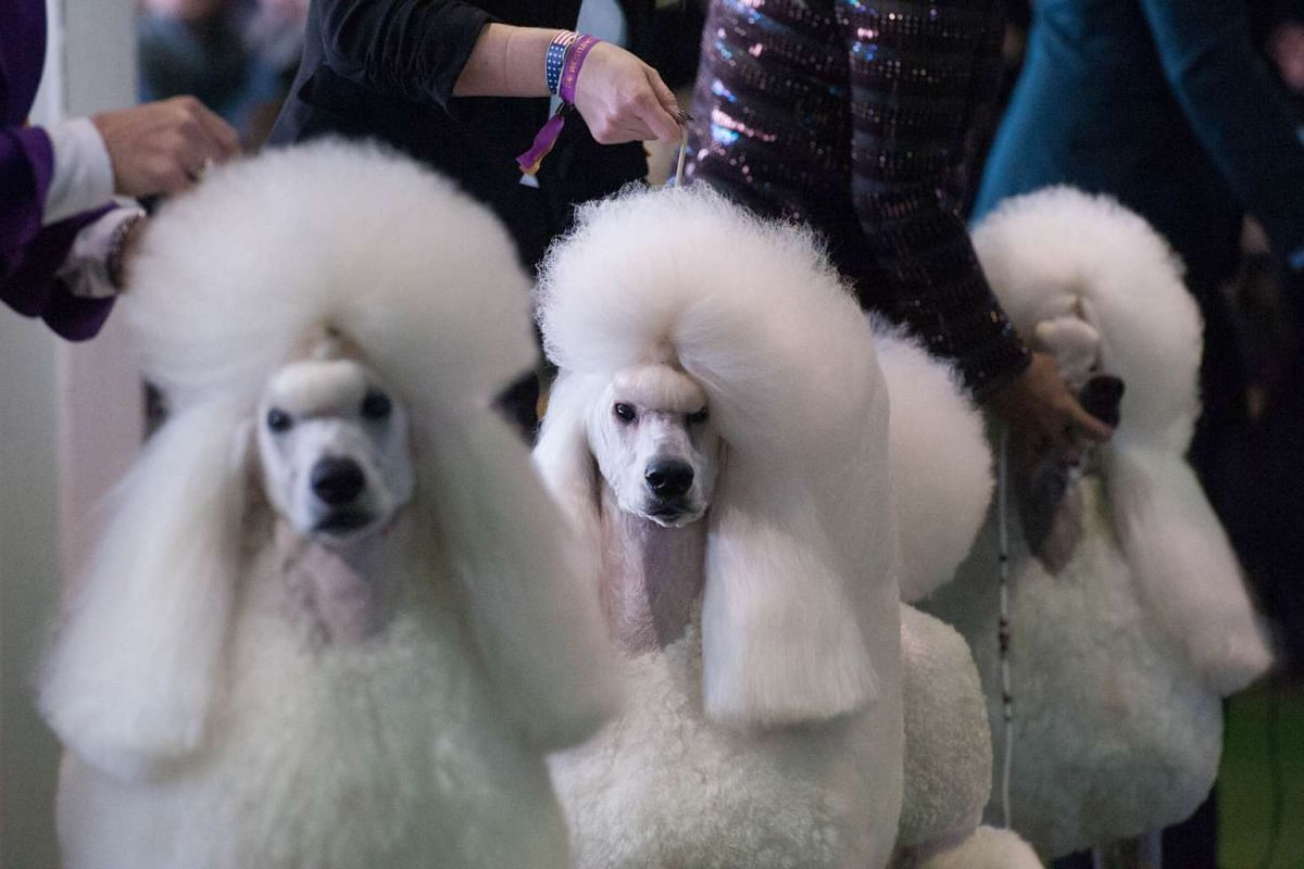 Standard Poodles compete during the annual Westminster Kennel Club dog show at Madison Square Garden on Feb 15, 2016, in New York City. PHOTO: GETTY IMAGES/AFP/STEPHANIE KEITH