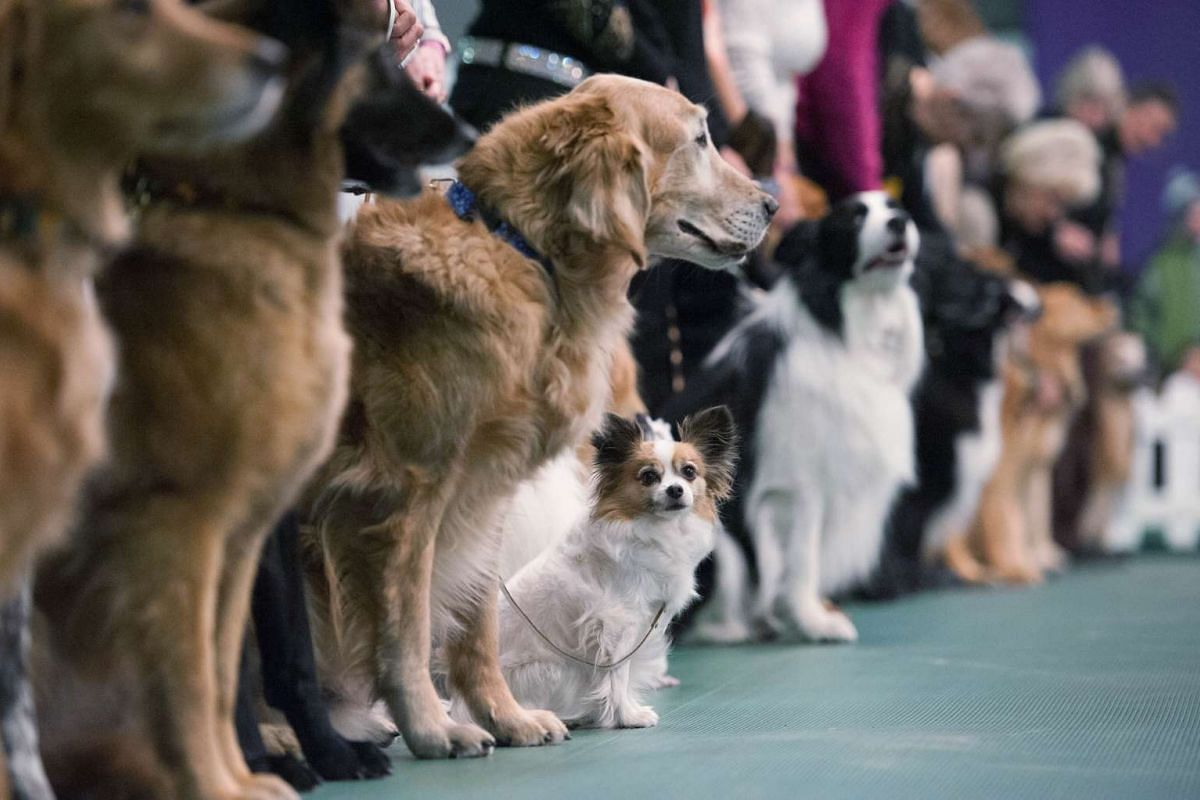 Dogs in the obedience competition line up for judges during the 2016 Westminster Kennel Club dog show.