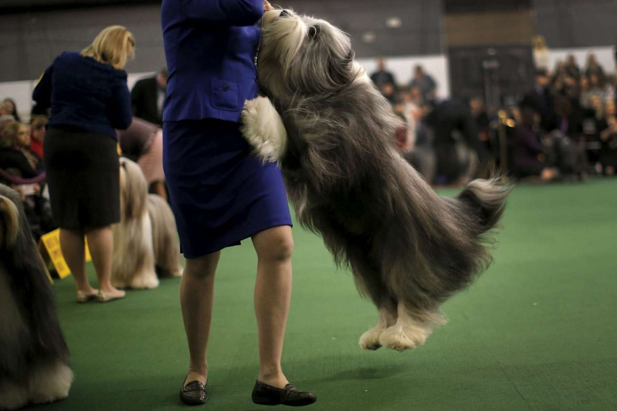 A bearded collie leaps up on his handler during judging at the 2016 Westminster Kennel Club dog show.