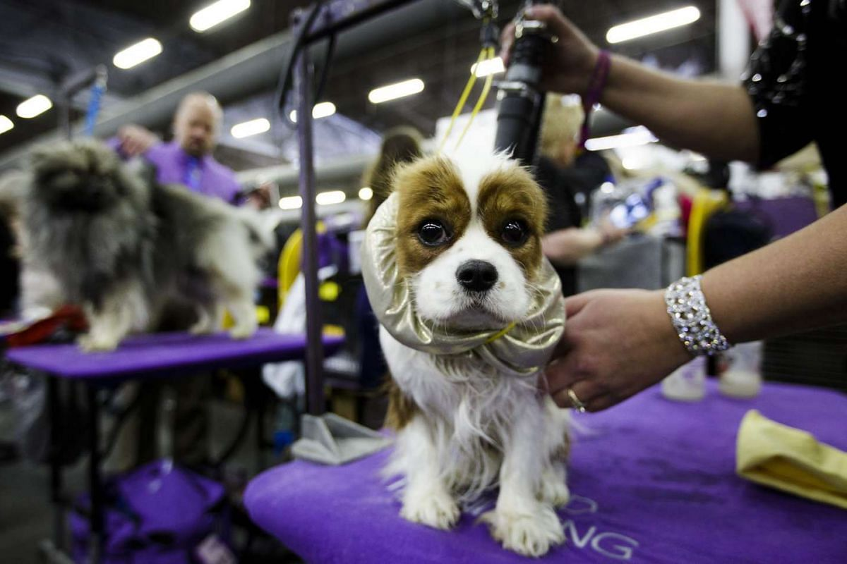 A spaniel named Mae is groomed at the 2016 Westminster Kennel Club dog show.