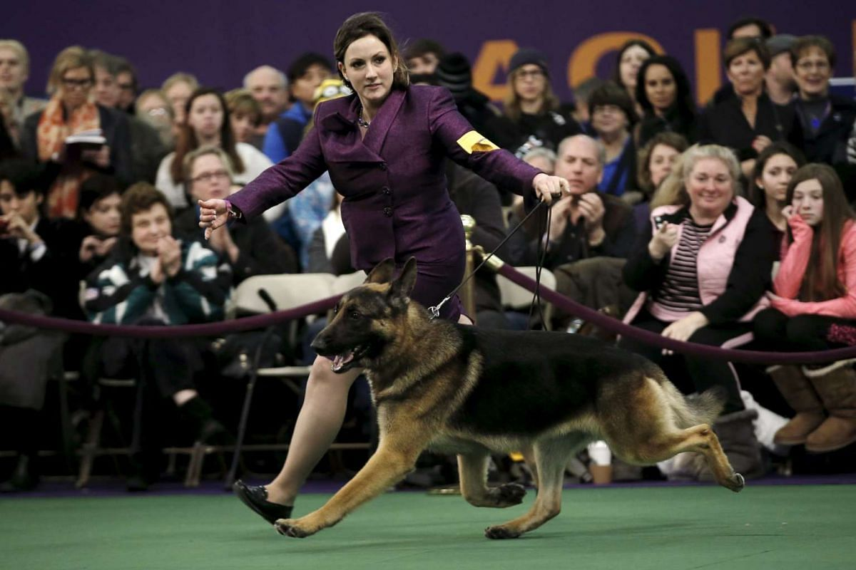 A handler runs a german shepherd in the ring during judging at the 2016 Westminster Kennel Club dog show.