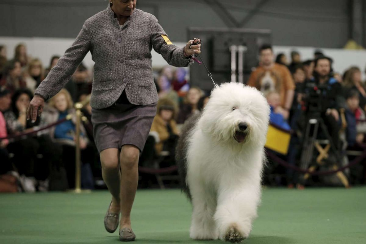 A handler runs an old english sheepdog during judging at the 2016 Westminster Kennel Club dog show.