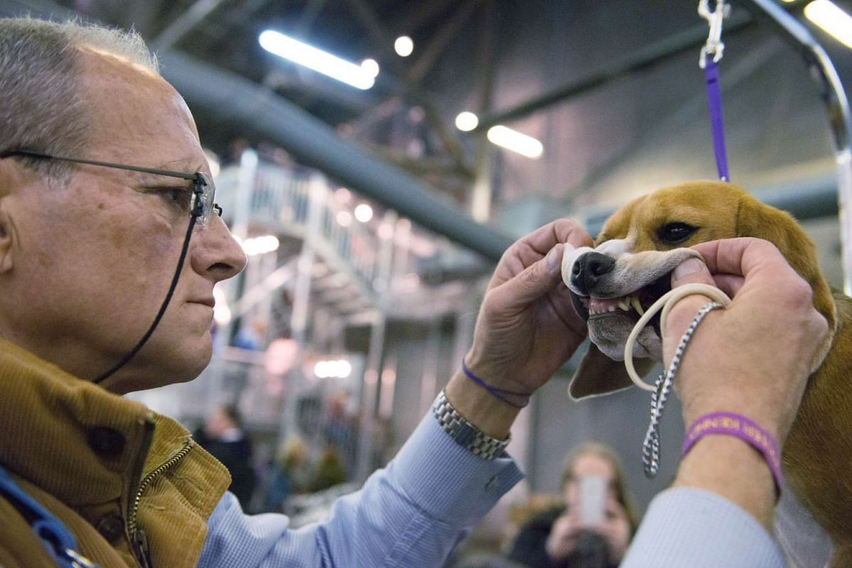 An owner grooms his beagle during the 2016 Westminster Kennel Club dog show.