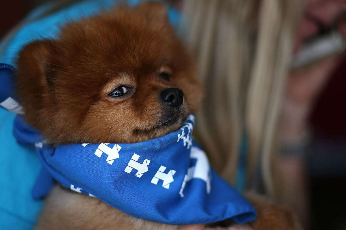 A dog named Bradley Cooper wears a scarf with Hillary Clinton campaign logos as his owner Jan Walker makes phone calls to voters on Feb 17, 2016, in Summerlin, Nevada. PHOTO: GETTY IMAGES/AFP/ JUSTIN SULLIVAN
