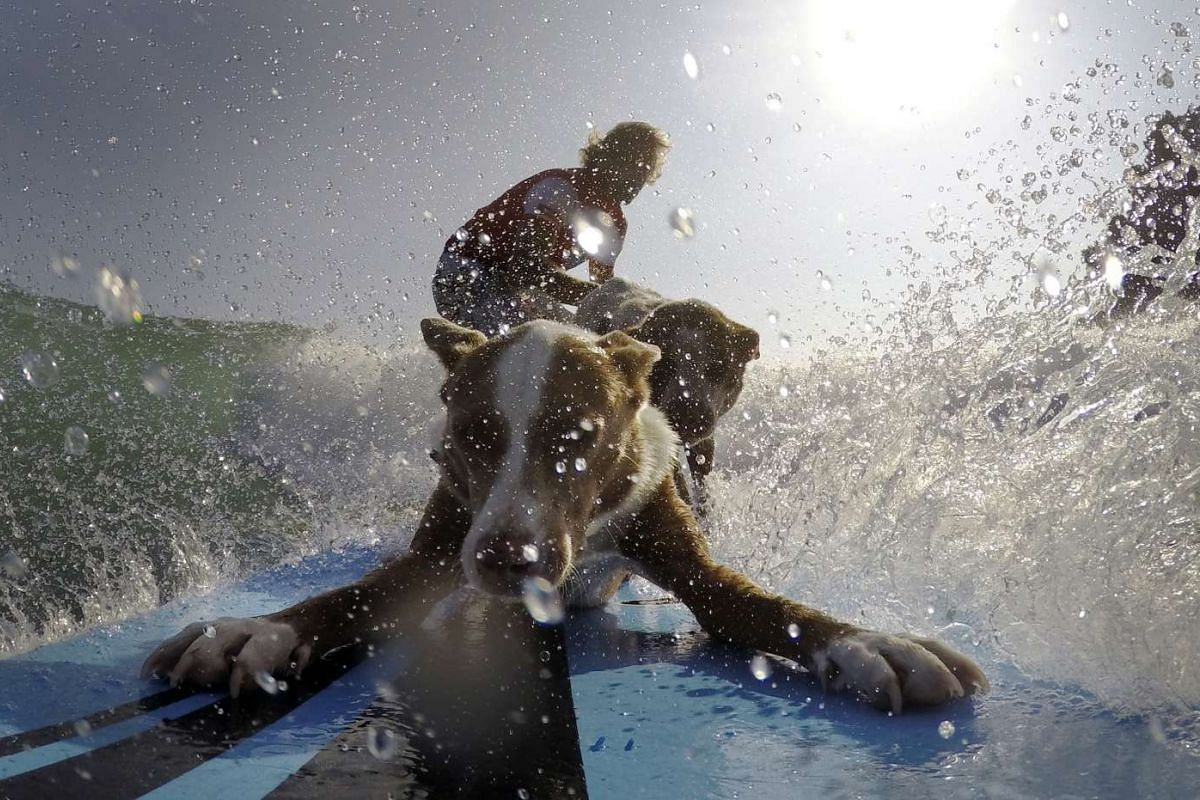 Australian dog trainer and former surfing champion Chris de Aboitiz (rear) rides a wave with his dogs Rama (front) and Millie off Sydney's Palm Beach on Feb 18, 2016.