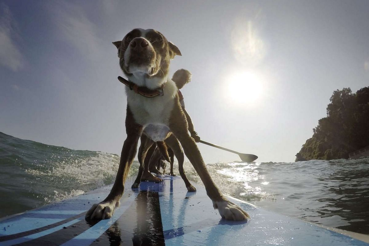 Australian dog trainer and former surfing champion Chris de Aboitiz (rear) rides a wave with his dogs Rama (front) and Millie (obscured) off Sydney's Palm Beach on Feb 18, 2016.