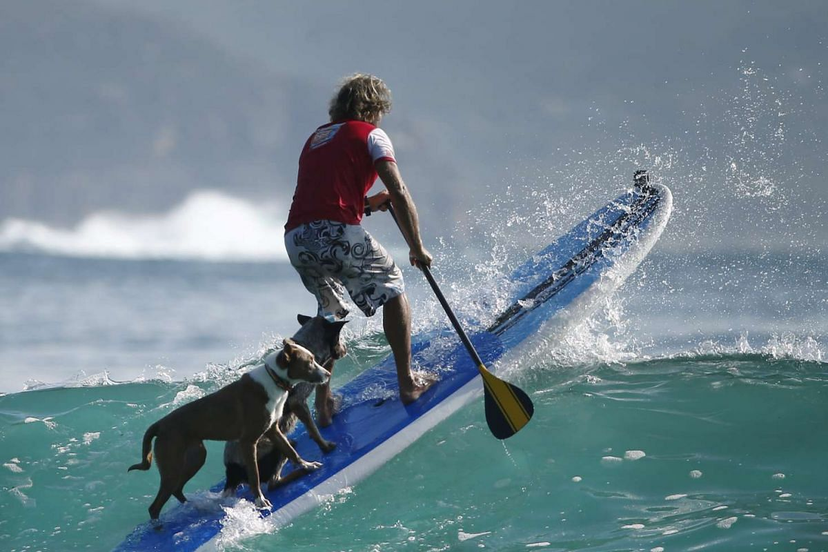 Chris de Aboitiz, with his dogs Rama (left) and Millie, surfs waves off Sydney's Palm Beach on Feb 18, 2016.