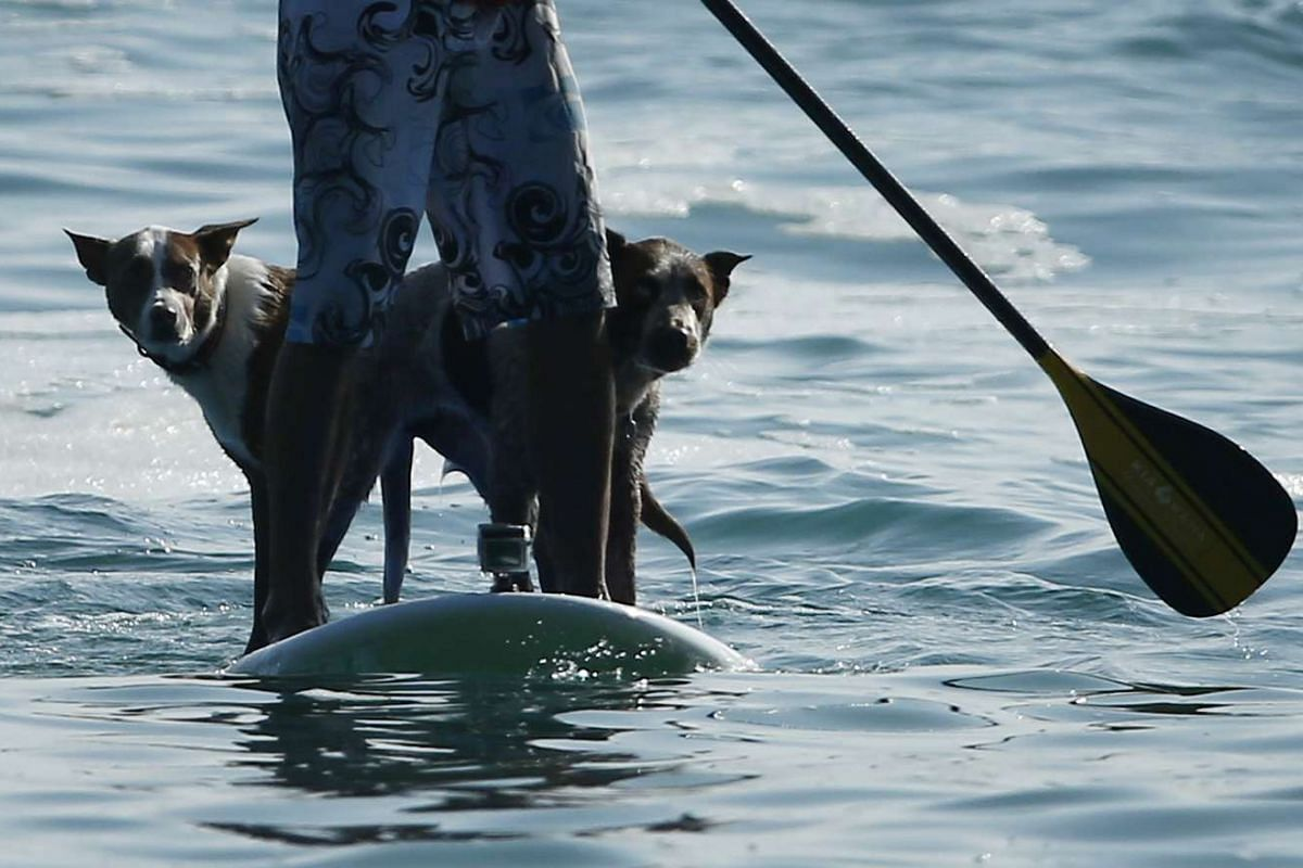 Chris de Aboitiz waits for a wave with his dogs Rama (left) and Millie at Sydney's Palm Beach on Feb 18, 2016.