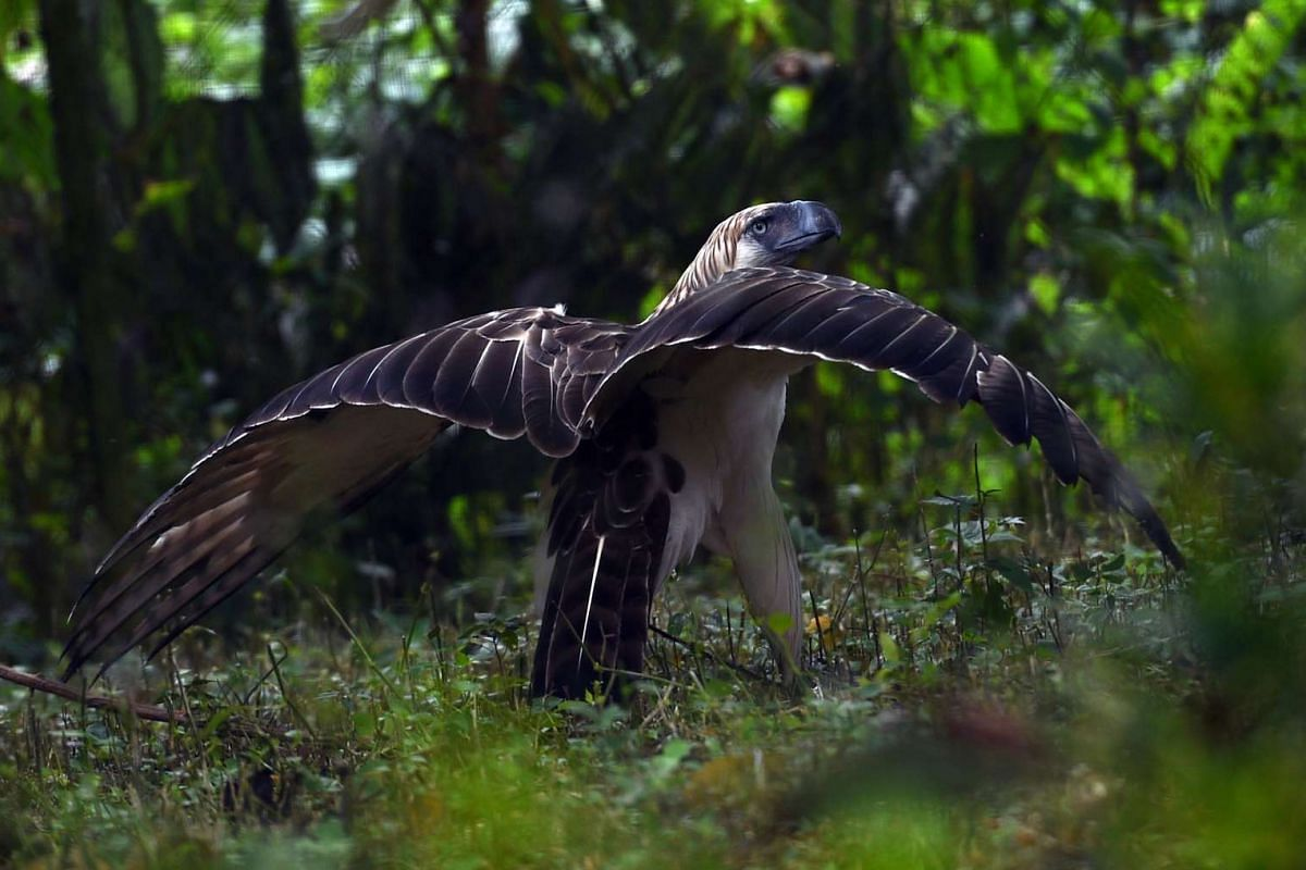 This photo made available today, shows a rescued monkey-eating eagle walking inside an enclosure at the Philippine Eagle center in Davao on the southern island of Mindanao, Feb 17, 2016. PHOTO: AFP/TED ALJIBE