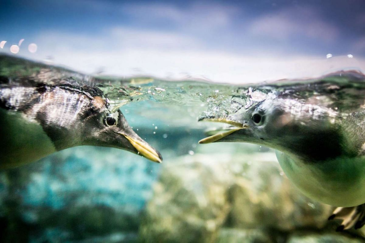 A picture made available on Feb 23, 2016, shows two penguins swimming in a pool at the zoo in Frankfurt am Main, Germany, Feb 22, 2016. PHOTO: EPA