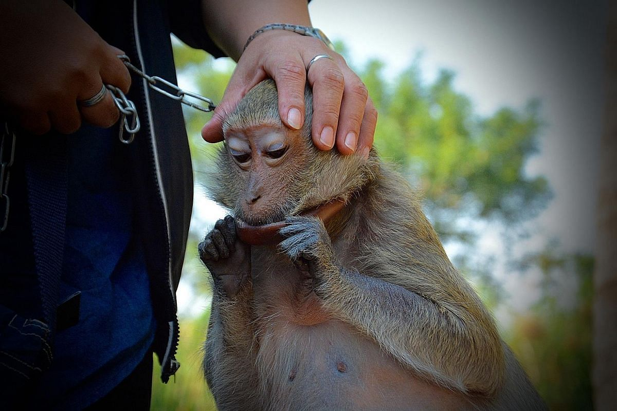 (Left) Mam, a long-tailed macaque, had been kept chained for 10 years. Across Thailand, thousands of animals are kept as pets or used in commercial entertainment and tourism. (Below) A Wildlife Friends Foundation Thailand (WFFT) volunteer releases a