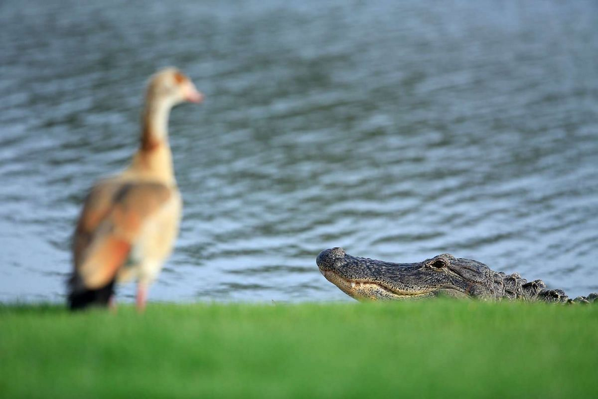 A large Aligator and some geese beside a lake on the course during the pro-am preview for the 2016 Honda Classic held on the PGA National Course at the PGA National Resort and Spa on Feb 24, 2016 in Palm Beach Gardens, Florida. PHOTO: GETTY IMAGES/AF