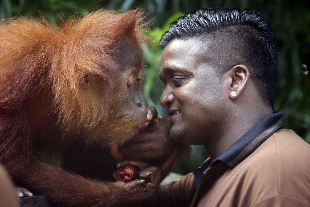 Ishta, the granddaughter of the late Ah Meng, has been named the new face of the Singapore Zoo, February 26, 2016. She is seen here with Kumaran Sesshe, the head keeper of orangutans. PHOTO: STRAITS TIMES/KEVIN LIM