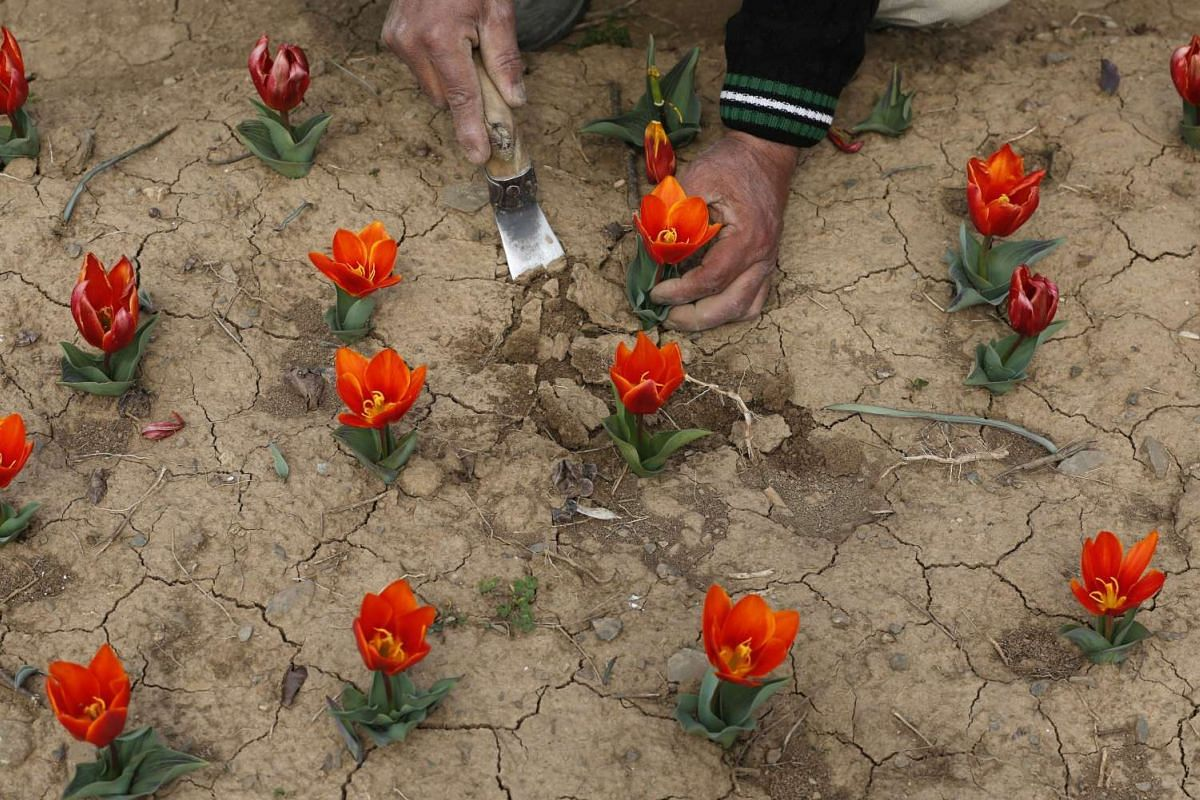 A Kashmiri gardener working to arrange tulips inside the Tulip Garden on the banks of Dal Lake, in Srinagar, the summer capital of Indian Kashmir, on March2, 2016.