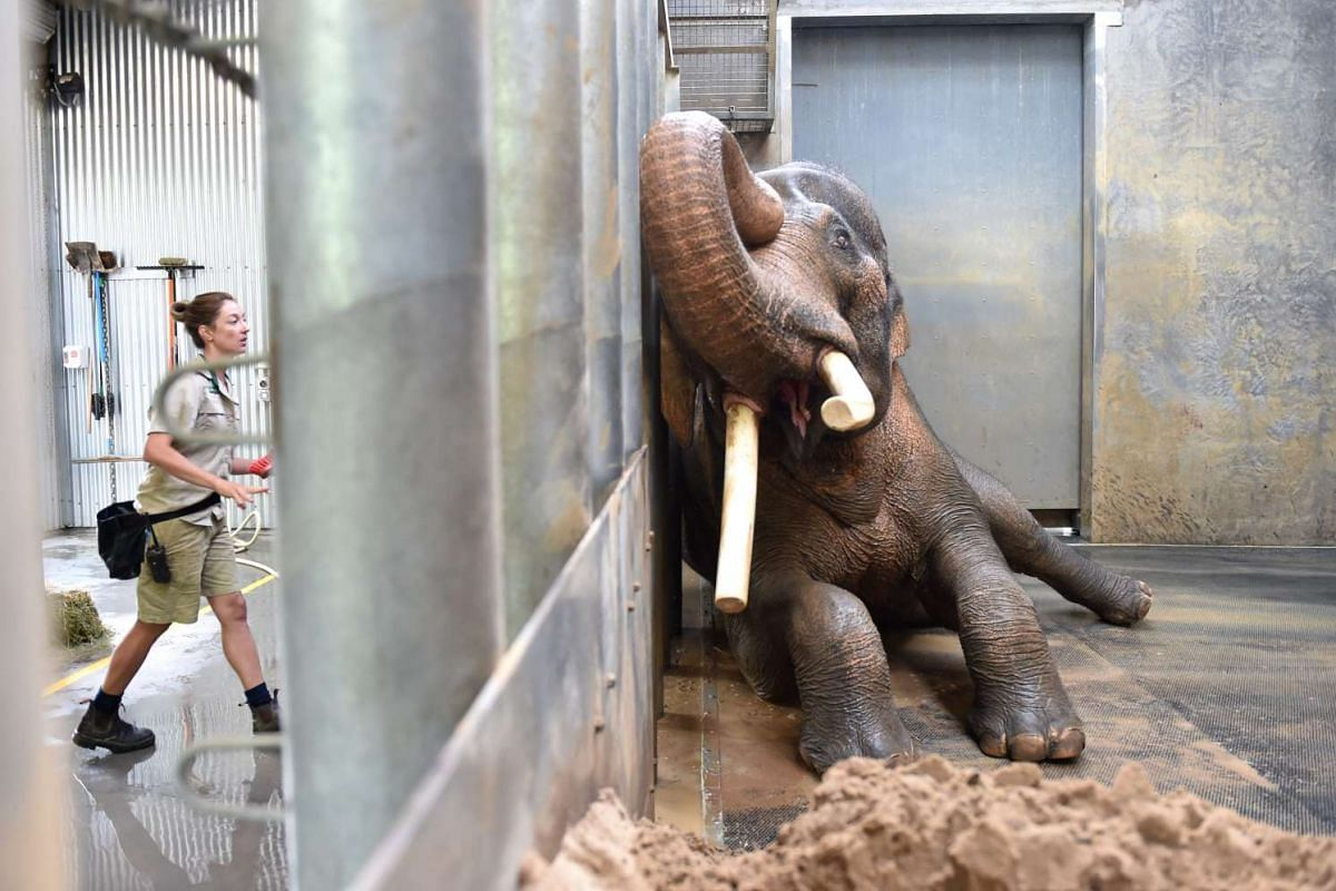 Keeper Lucy Truelson (left) washing Asian elephant bull Bong Su as it lies against the barrier in its enclosure at Melbourne Zoo in Melbourne, Australia, on March 3, 2016.