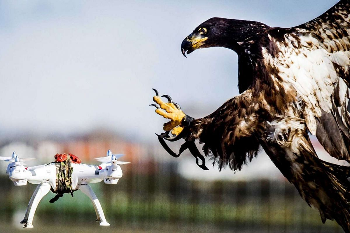 A trained eagle grabs a hovering drone during a exercise of the Dutch police in Katwijk, the Netherlands on March 7, 2016.