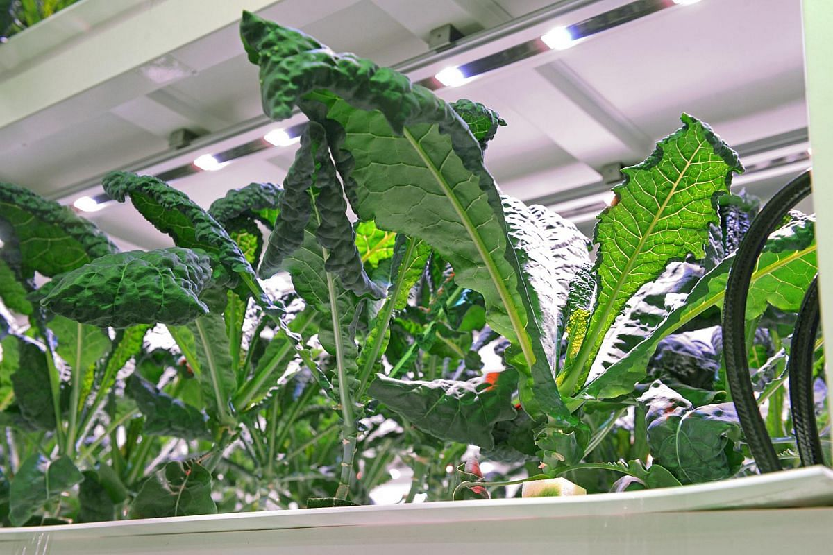 Sustenir Agriculture produces kale and spinach under controlled conditions using hydroponics and its method is much more efficient than traditional farming methods.