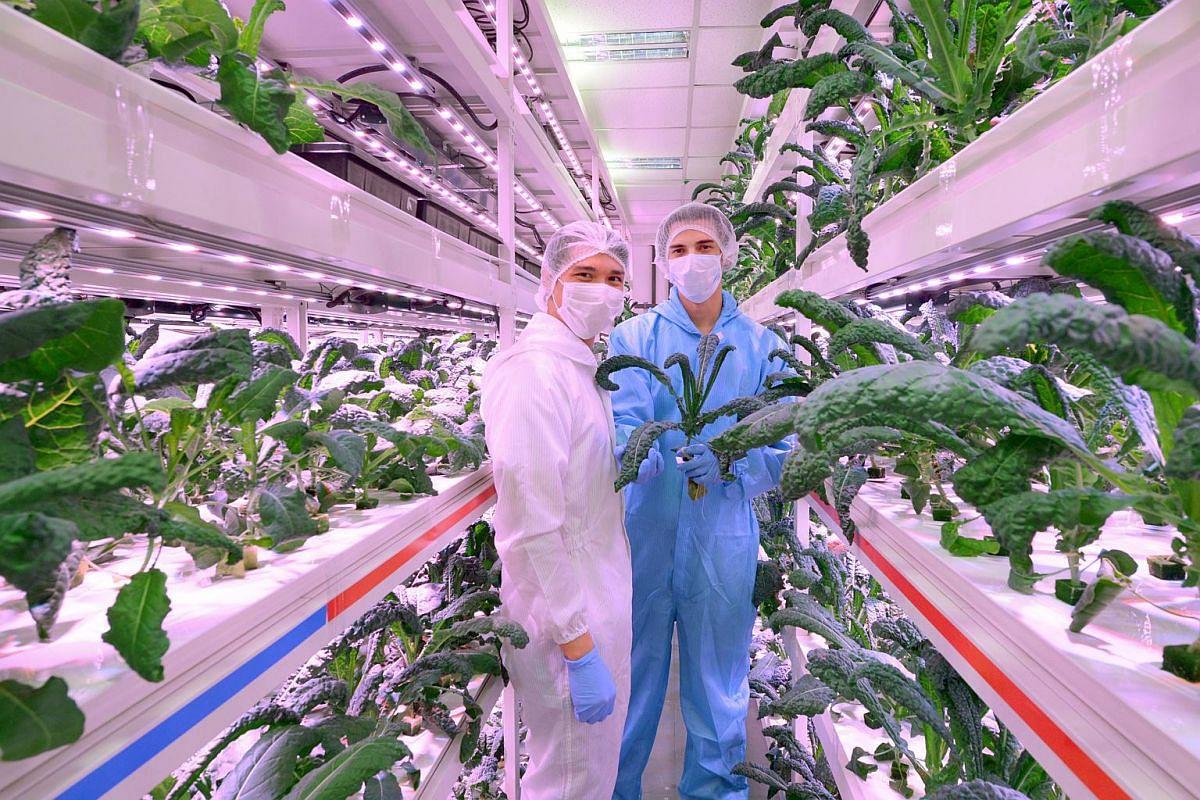 Sustenir Agriculture in the indoor commercial farm in Singapore.