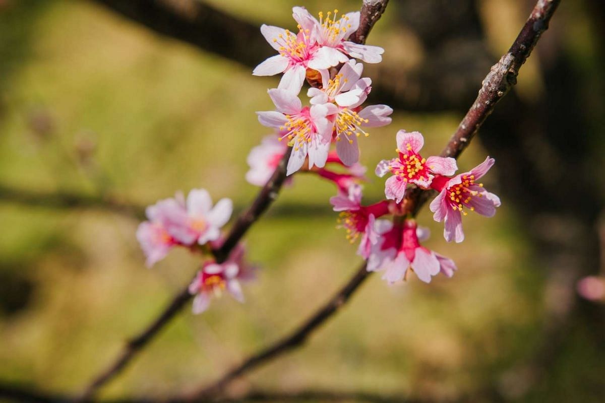 The display will span two weeks and features a variety of blossoms that include the cherry (sakura) and peach.