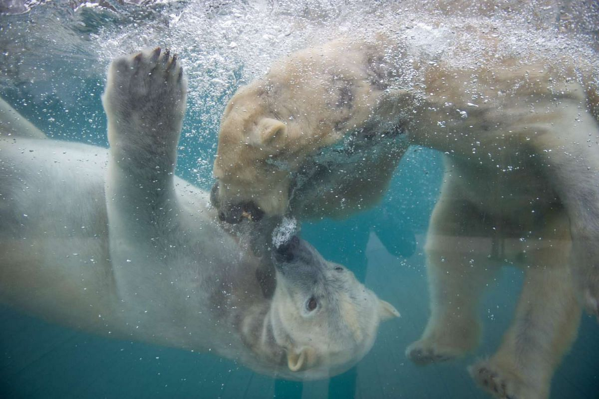 Polar bears playing in the water at the zoo in Mulhouse, eastern France on March 15, 2016. PHOTO: AFP