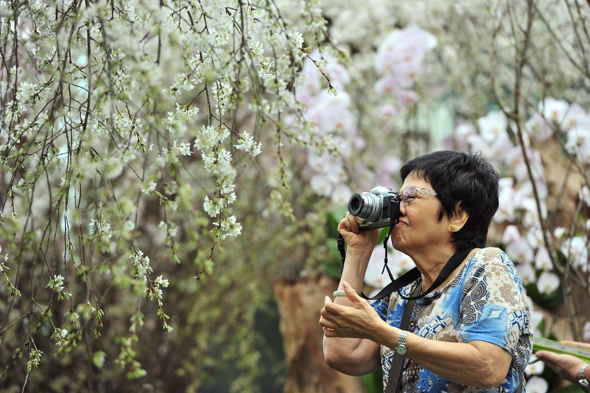 Retiree Catherine Ng, 76, taking photos of the Prunus subhirtella 'Pendula' at Gardens by the Bay's latest floral display on March 15, 2016.
