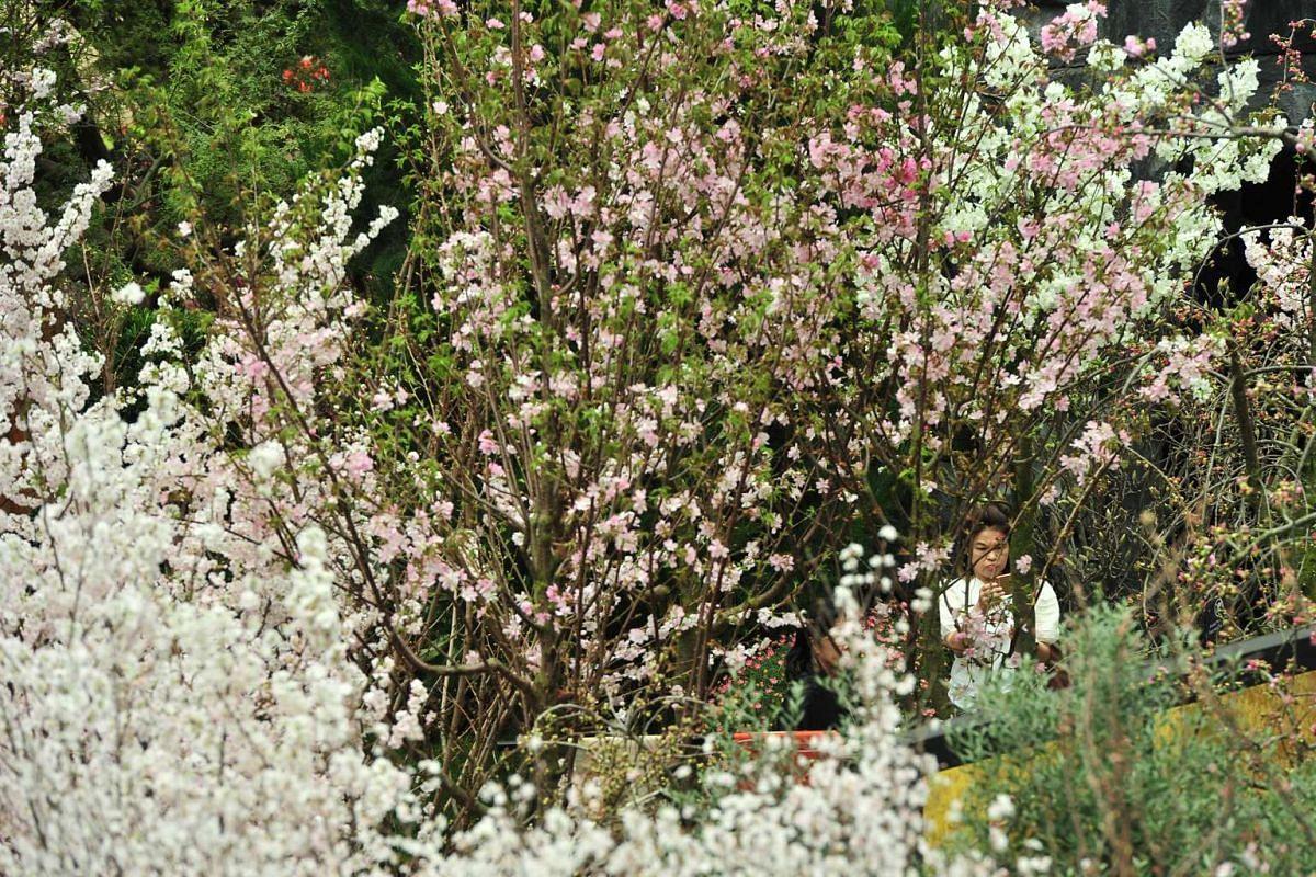 The Prunus yedoenis 'Yoshino' - white cherry blossoms.