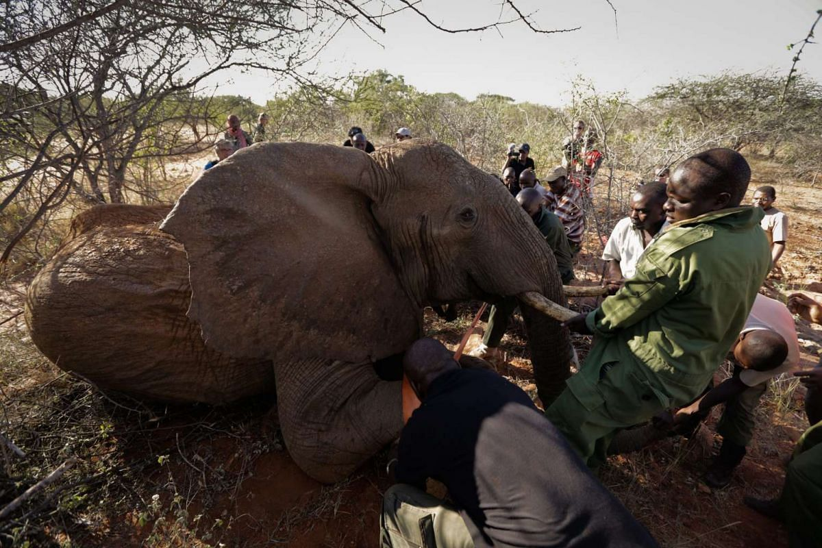 Rangers from Kenya Wildlife Service (KWS), and workers from Save The Elephants, push down a darted elephant before fitting it with a collar during an elephant-collaring operation in Tsavo East National Park in Kenya, March 16, 2016. PHOTO: EPA