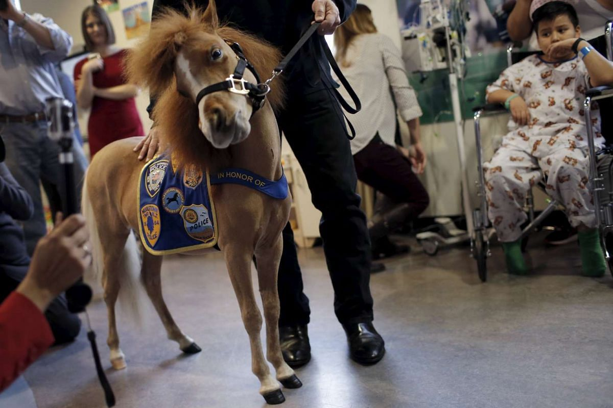 Honor, a miniature therapy horse from Gentle Carousel Miniature Therapy Horses, visits with patients at the Kravis Children's Hospital at Mount Sinai in the Manhattan borough of New York City, March 16, 2016. PHOTO: REUTERS