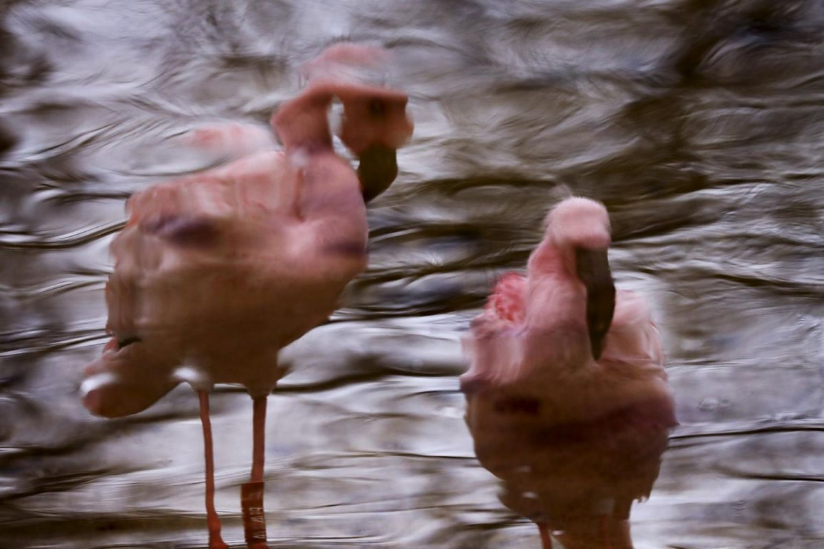 Flamingos are reflected in a pond in an enclosure at Opel Zoo in Kronberg, Germany.